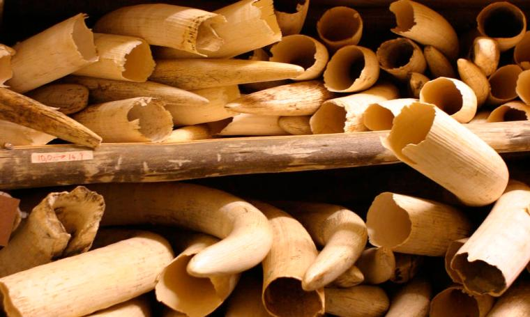 Elephant tusks stored in secured ivory piles, Kruger National Park, South Africa