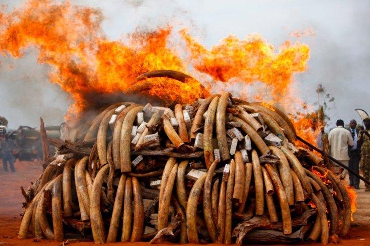 Großangelegter Schlag von Interpol gegen Elfenbeinschmuggler